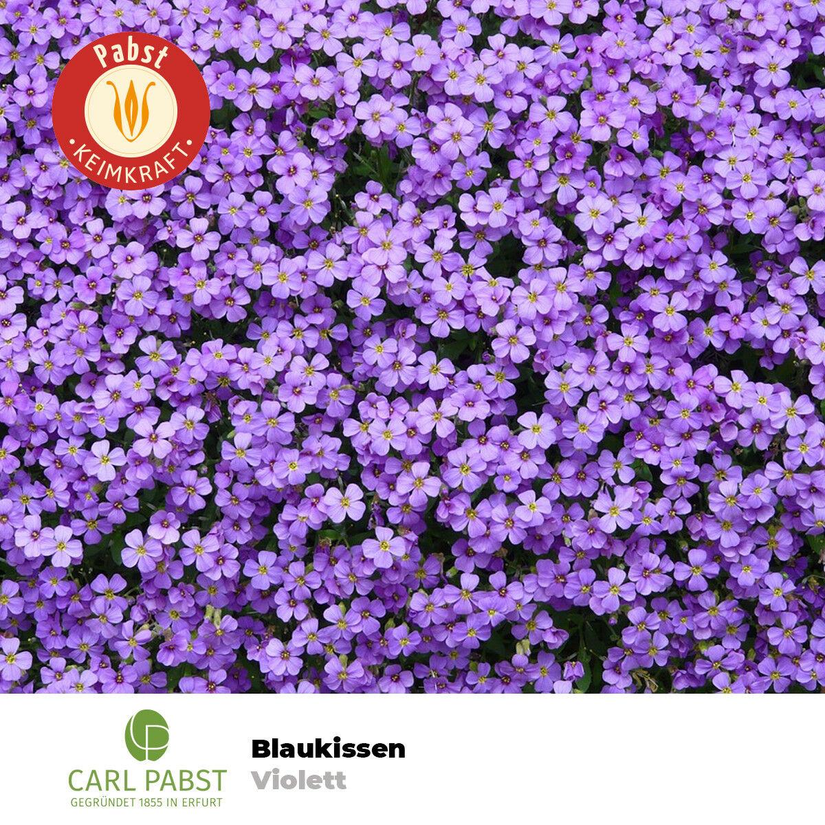 Junge Saatgut 100 Pfl Sämereien Kornbumensamen Staude Zyane Kornblume Blauer