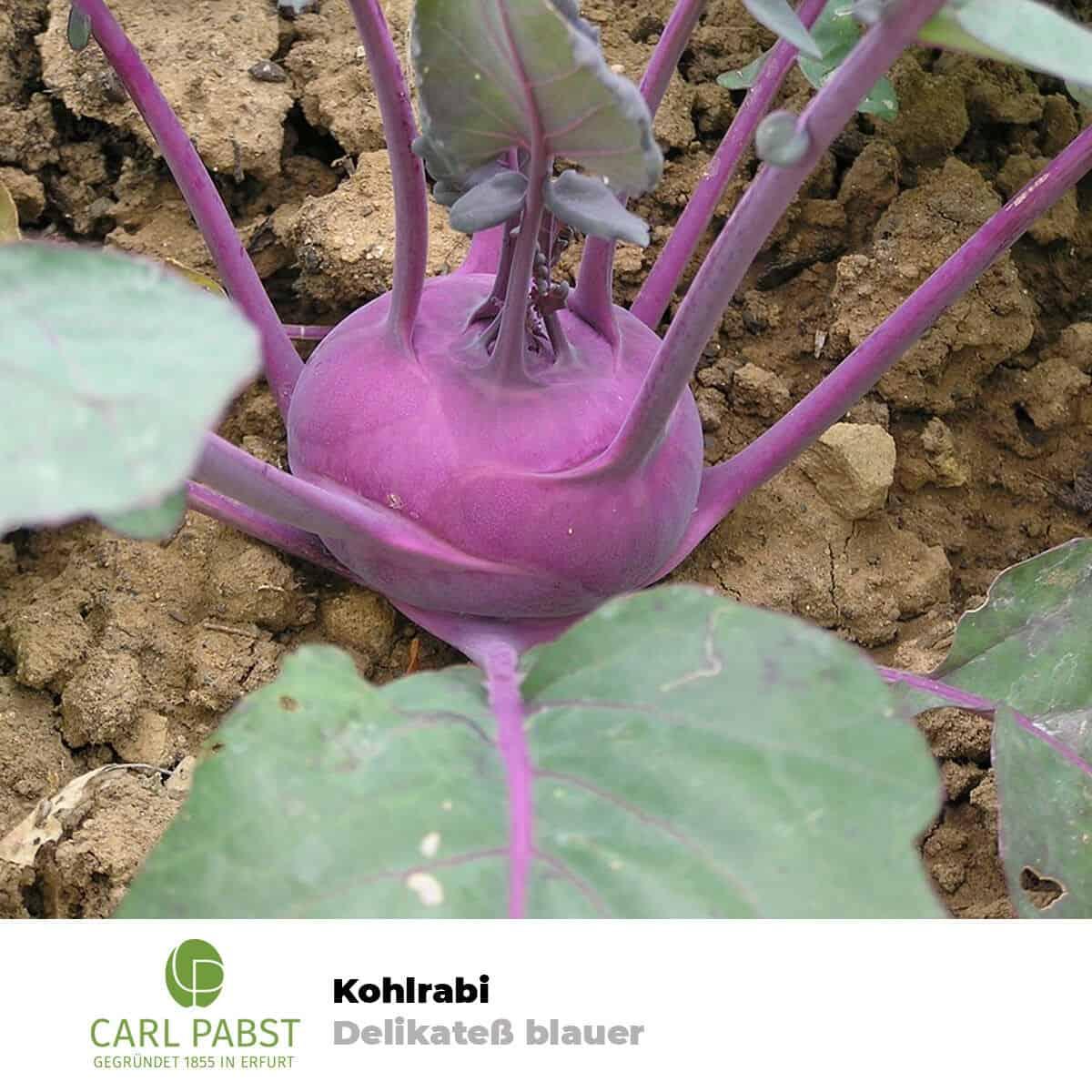 Kohlrabi Delikatess Witte Samen 100 Pflanzensamen Sämereien Samen Garten Kohl