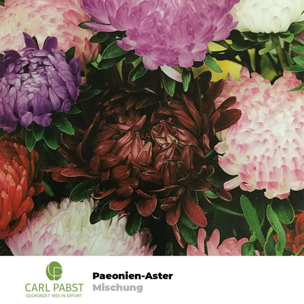 Asternmischung Blume Samen