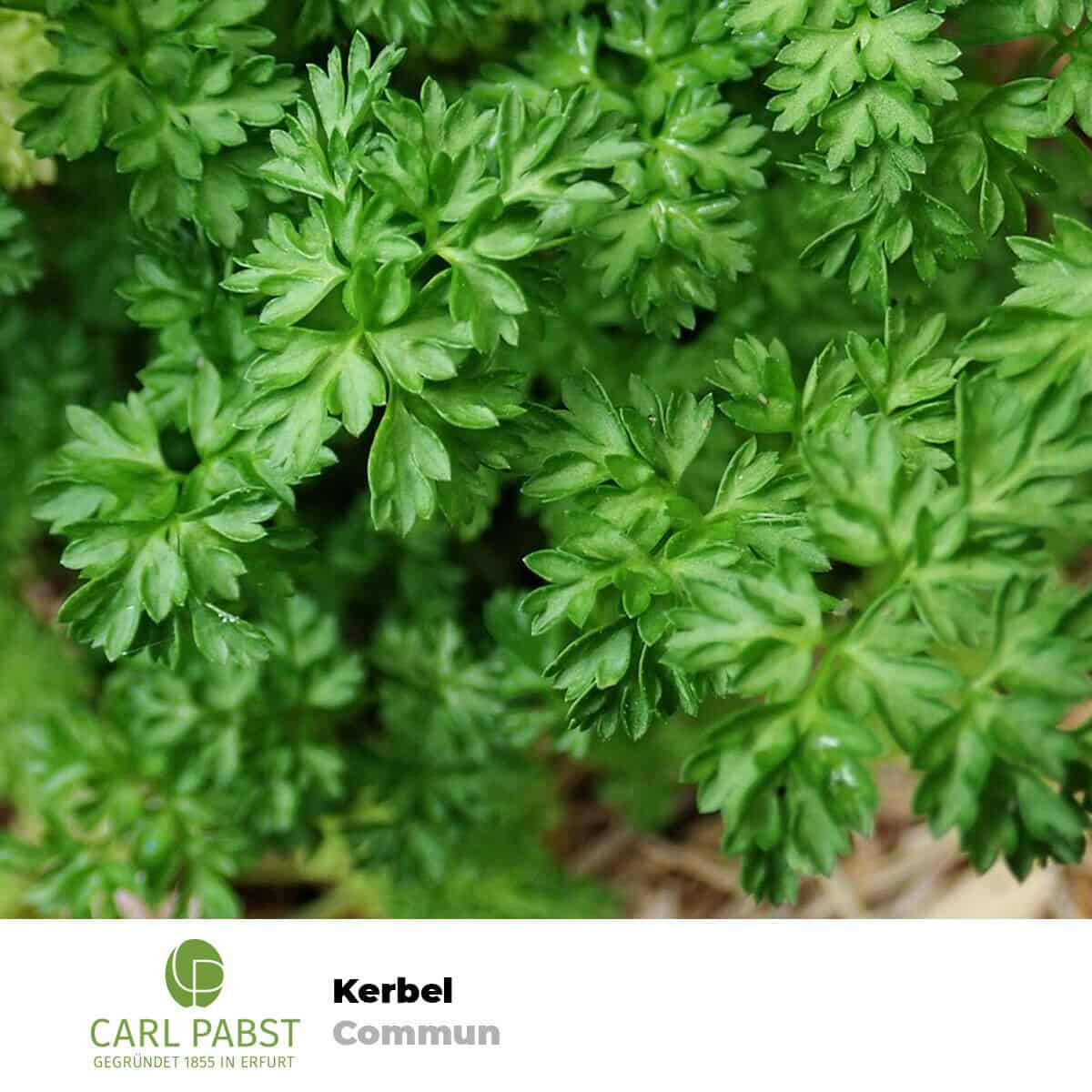 "Anthriscus cerefolium Kräuter Samen Saatgut Kerbel /""Commun/"""